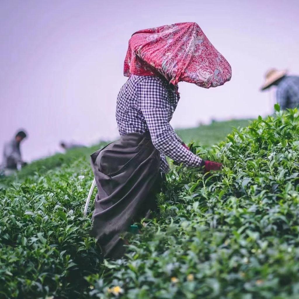 récolte 2021 thé petit producteur printemps