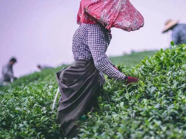 récolte 2021 thé petit producteur traçabilité
